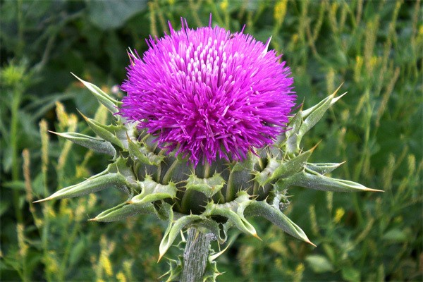 Máriatövis gyógynövény virága